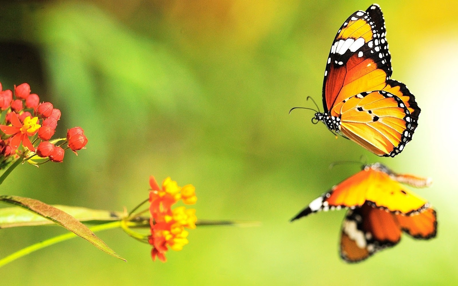 Butterfly Wallpapers Backgrounds Images Freecreatives 1600x1000