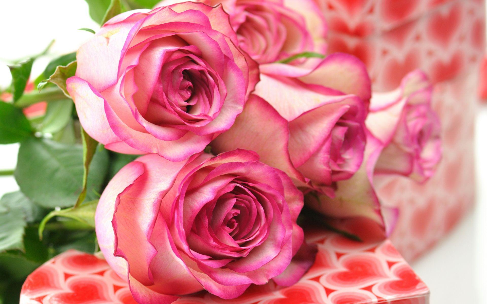 Beautiful Pink Rose Flower Wallpaper Free wallpaper download