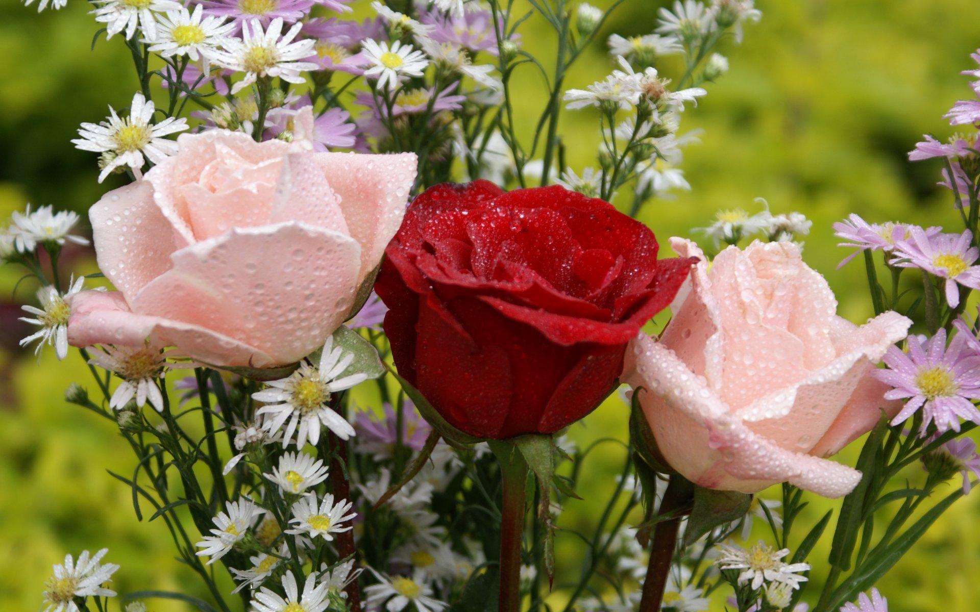 Beautiful Pink Roses Wallpapers 47 Adorable