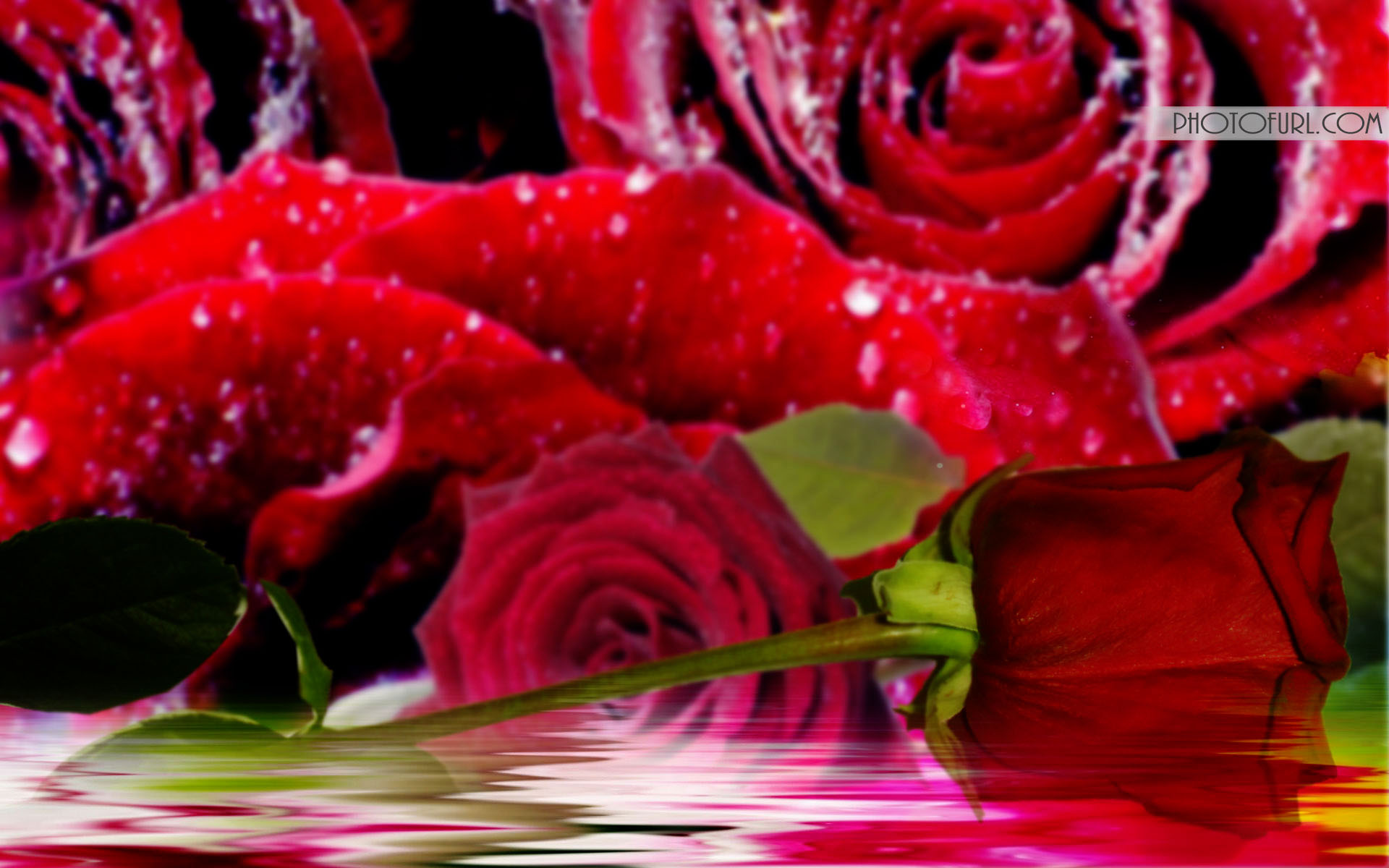 Beautiful Red Rose Wallpapers 1920x1200
