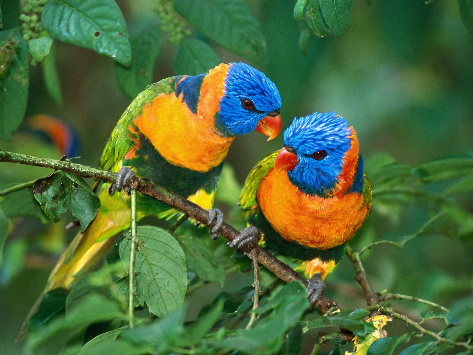 Cute Love Bird Colorful Parrot HD Wallpapers 1600x1200
