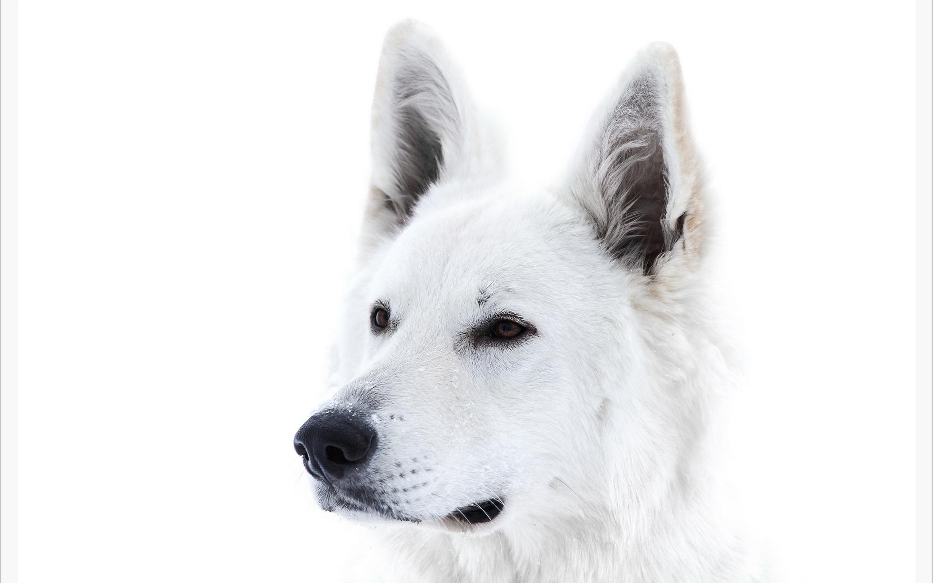 Group Of White Dog Hd