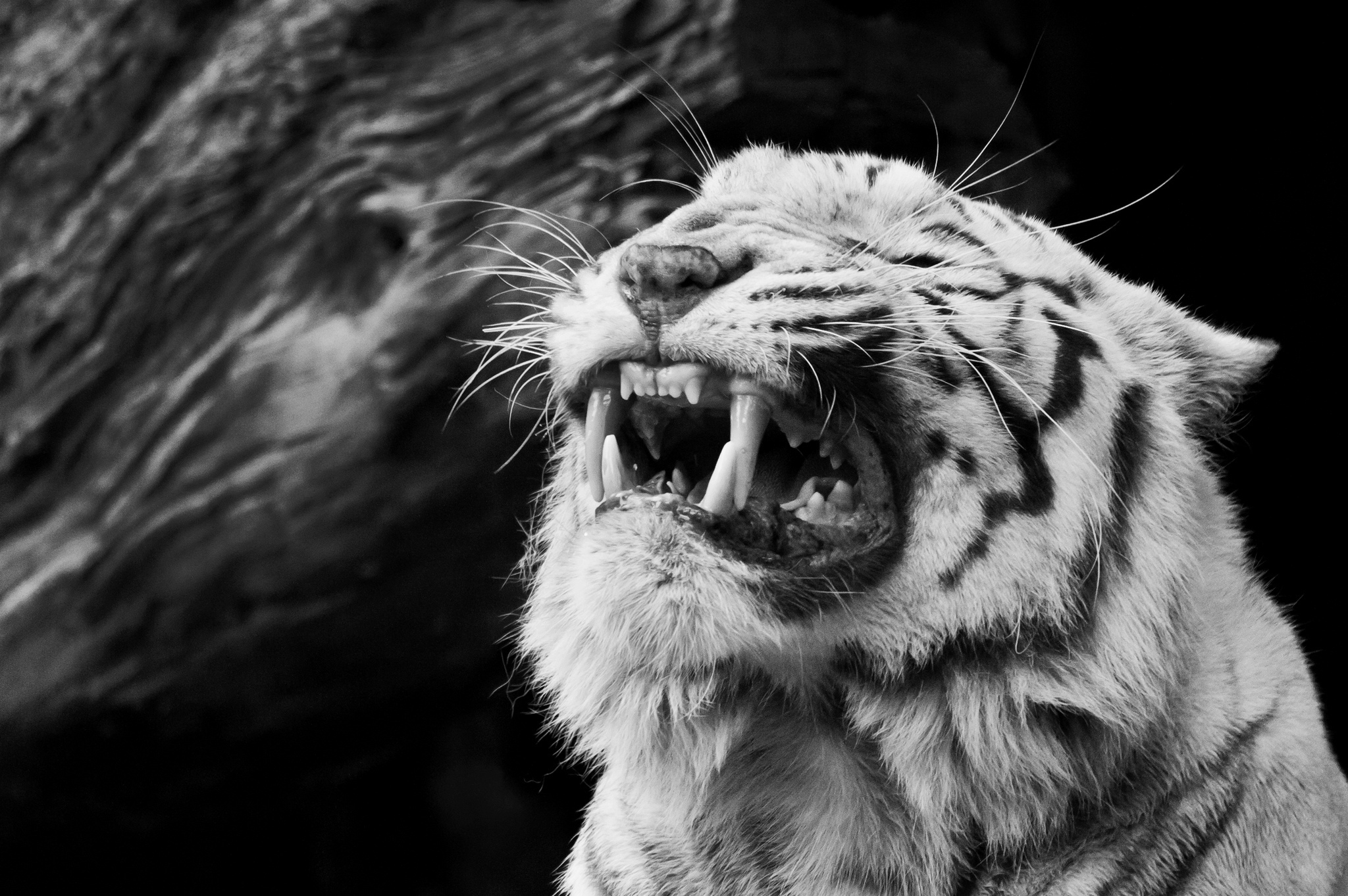 Black And White Tiger Wallpapers 44 Wallpapers Adorable Wallpapers