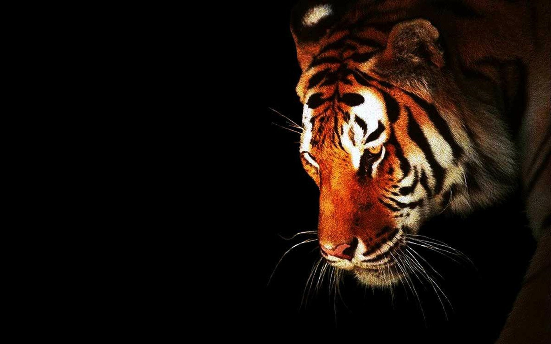 black and white tiger wallpapers 44 wallpapers