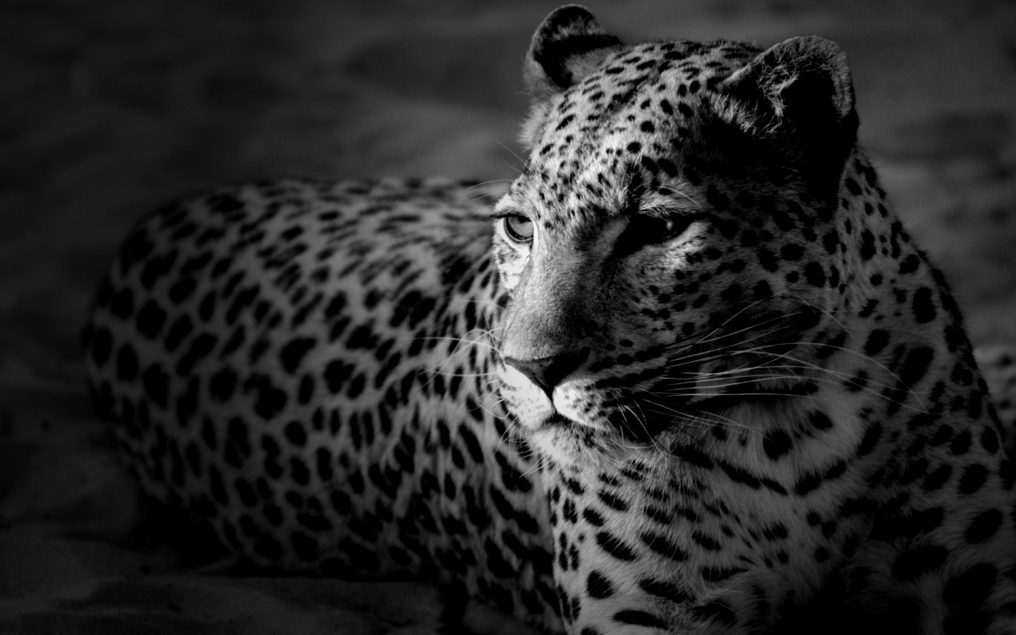 Black And White Cheetah Wallpaper 29 Wallpapers Adorable
