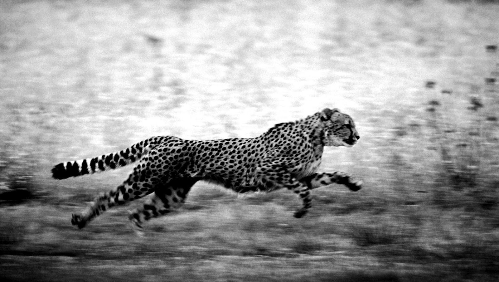 Black And White Cheetah Wallpaper 29 Wallpapers