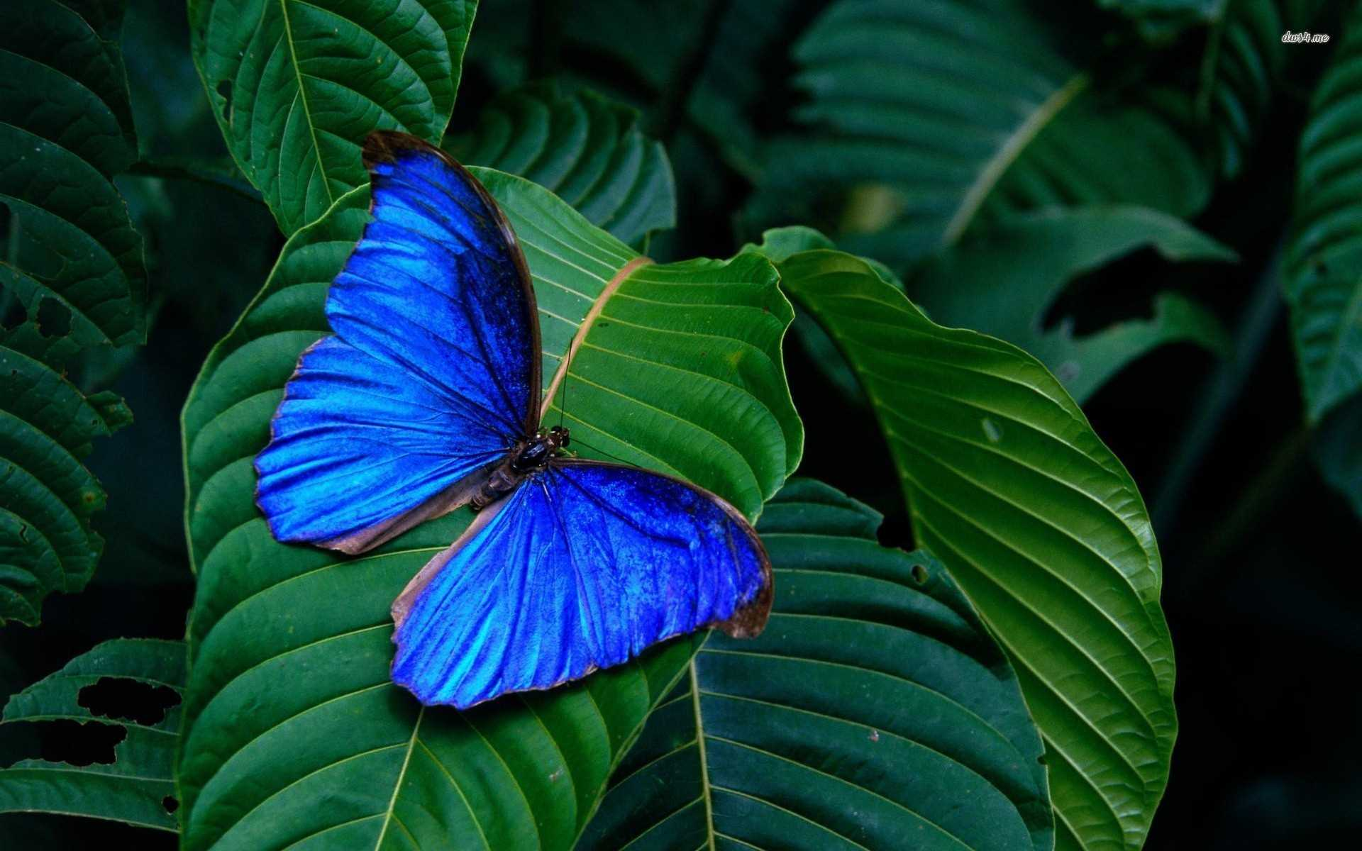 Blue Butterfly Wallpapers (46 Wallpapers) - Adorable ...
