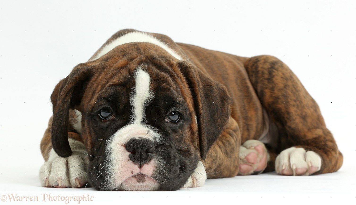 boxer puppy wallpapers 48 wallpapers � adorable wallpapers
