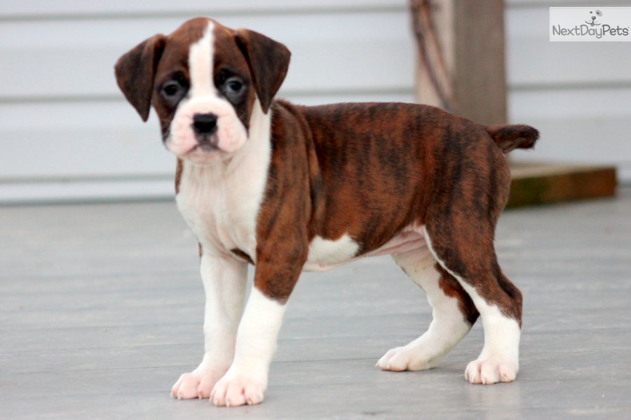 Boxer Dog Hd Wallpaper Boxer Dog Images New Wallpapers Chainimage