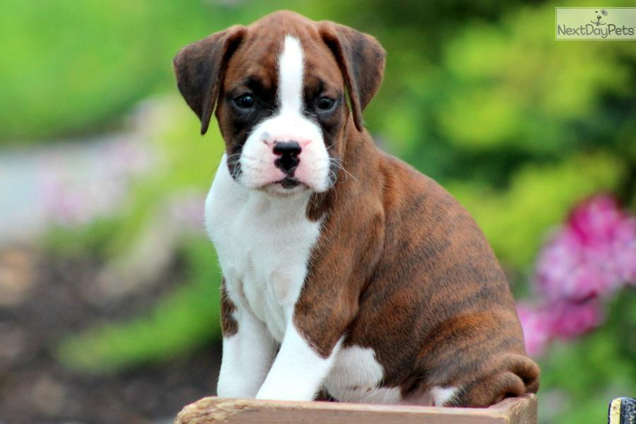 Cute Boxer Puppies Wallpaper Boxer Puppy Wallpapers...