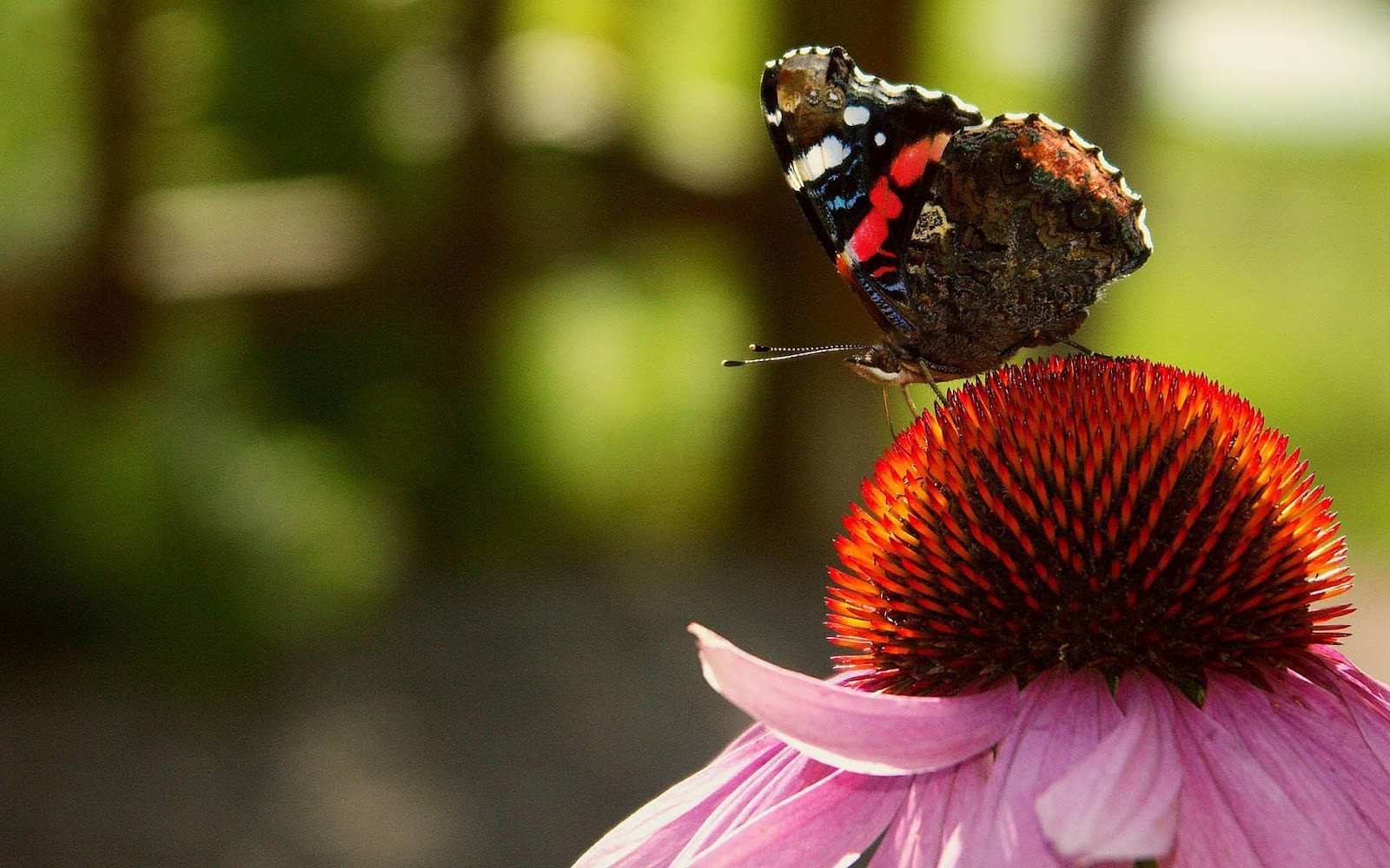 Good Wallpaper High Quality Butterfly - Butterfly-Wallpapers-Free-Download-009  Best Photo Reference_53677.jpg