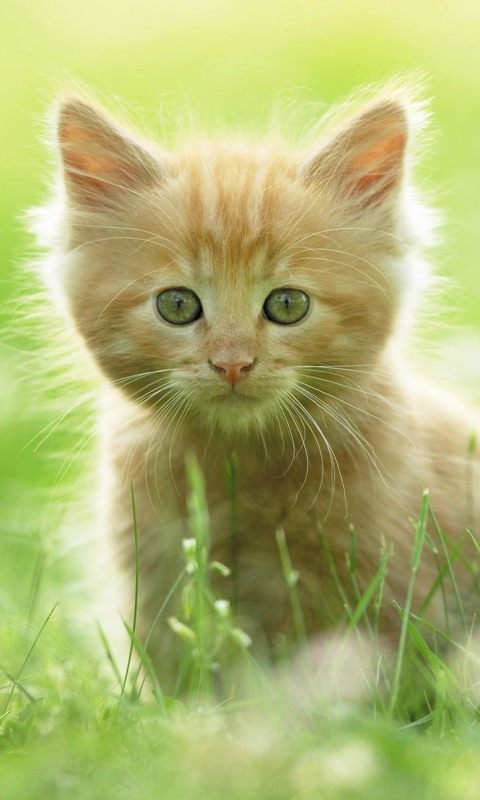 Download free White Cute Cat Mobile Wallpaper contributed by 480x800