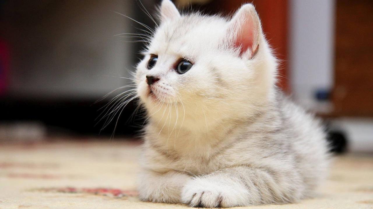 Animal Cat Hd Wallpapers Desktop Backgrounds Mobile Wallpapers