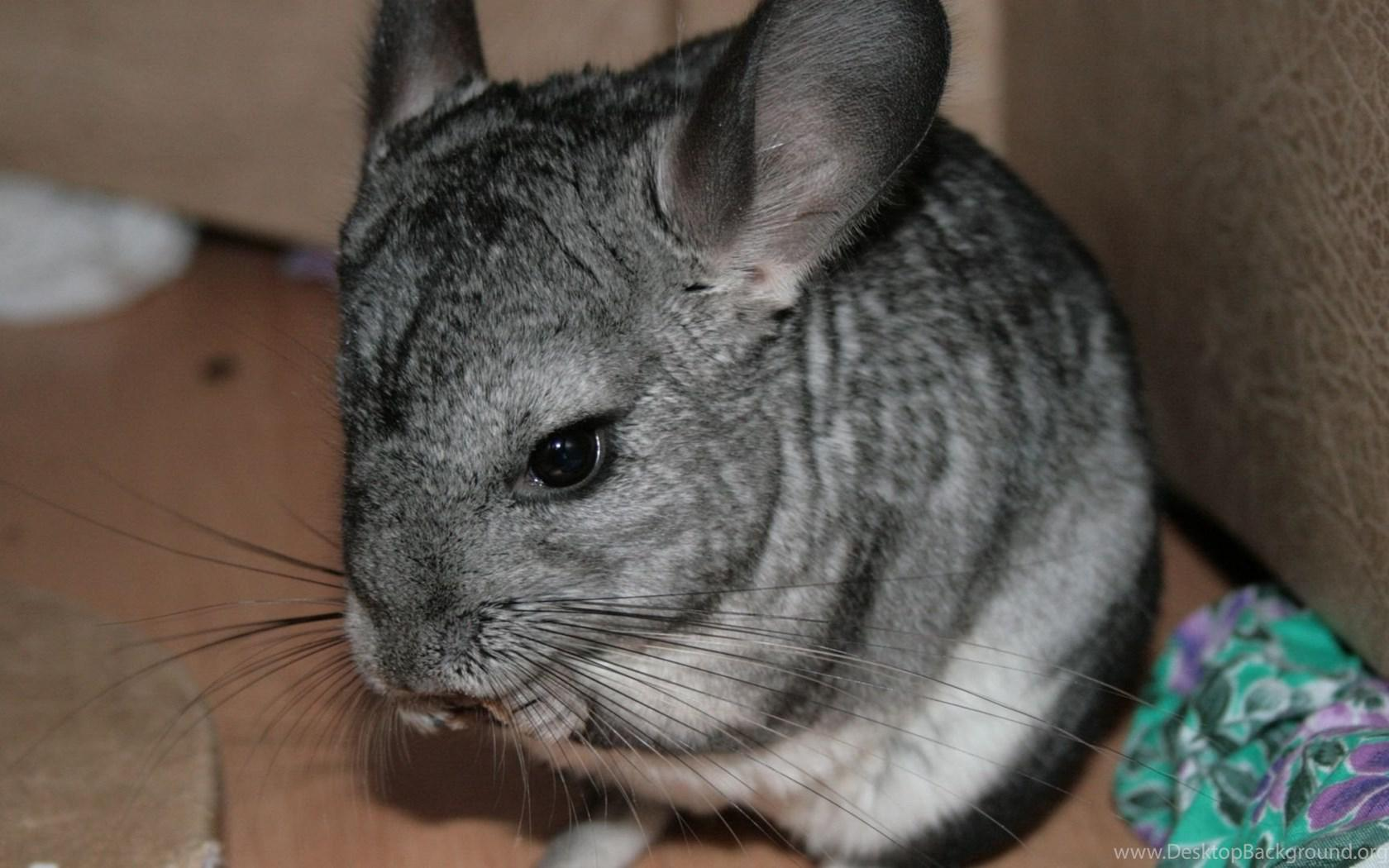 Chinchilla Wallpapers Wallpaper