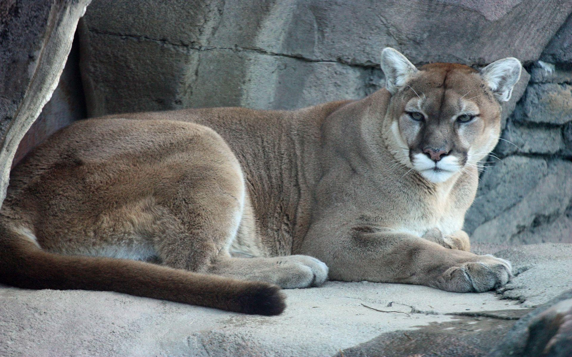 Cougar Pics Wallpapers (40 Wallpapers) - Adorable Wallpapers