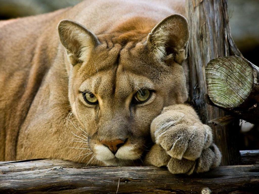 cougar wallpaper 1024x768