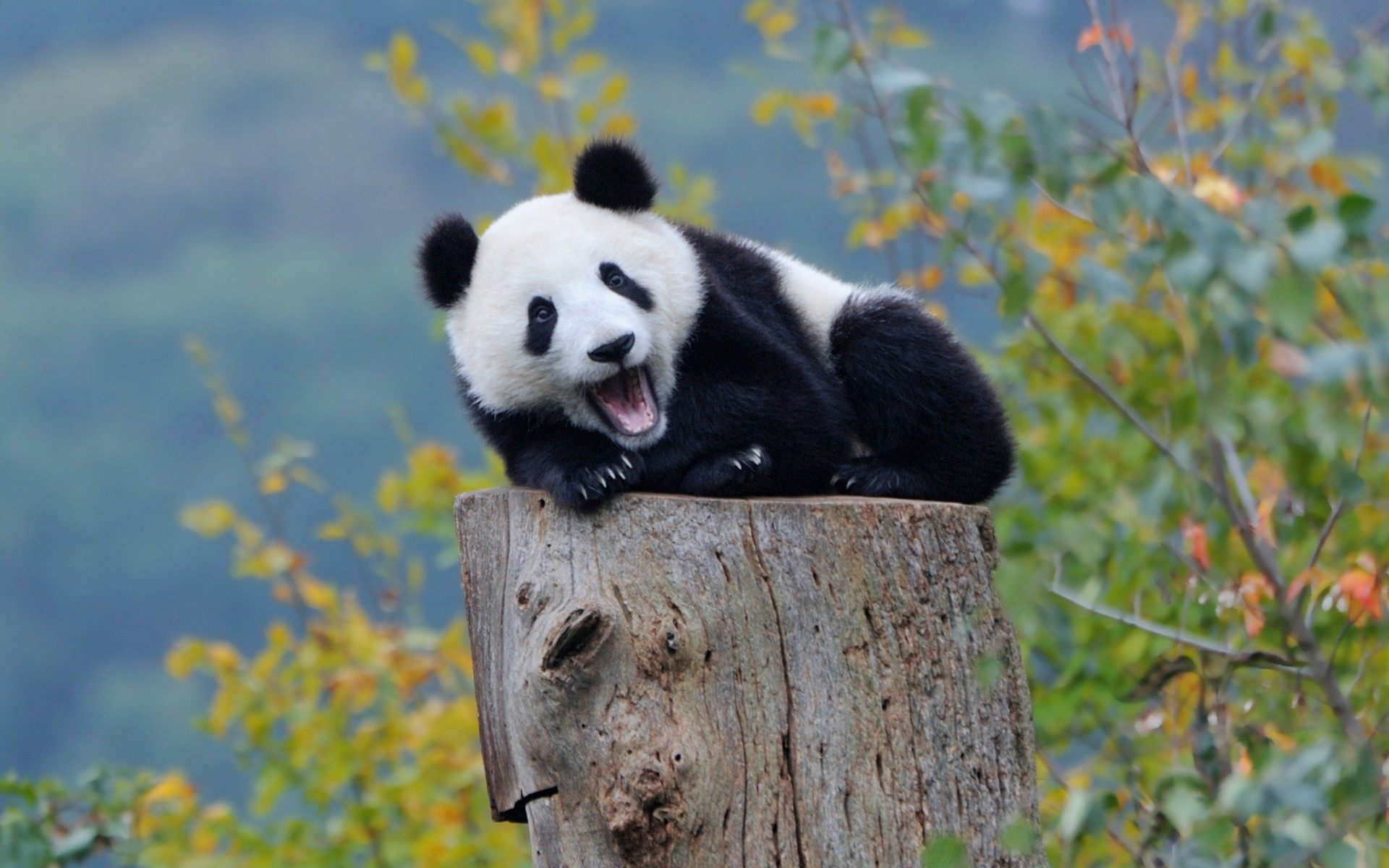 Cute-Baby-Panda-Wallpapers-053.jpg