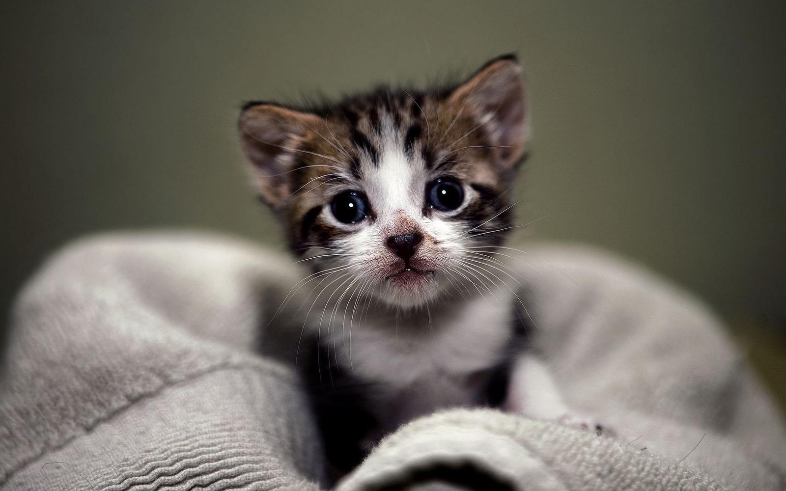 Cute kitten wallpapers the cutest kittens 1600x1000 altavistaventures Images