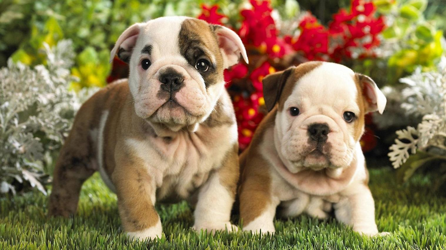 Cute Puppy Wallpaper Dogs 1517x853