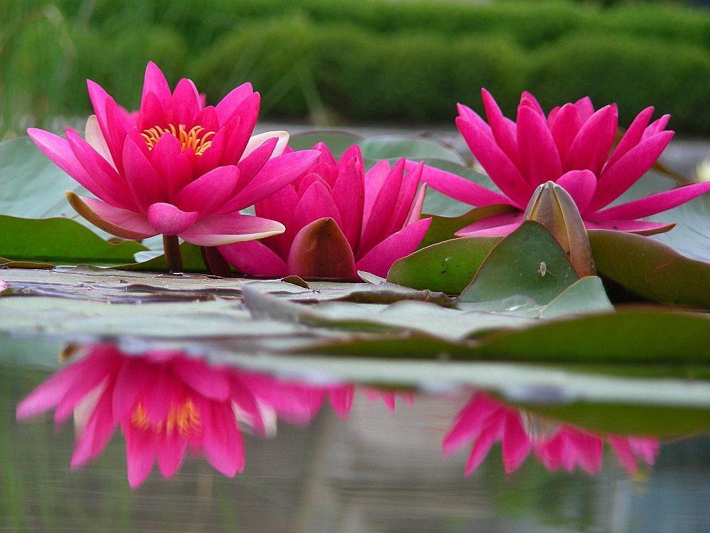 Group Of Lotus Flower Desktop Wallpaper