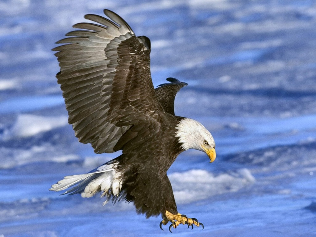 Free Bald Eagle Wallpapers  Wallpaper  1024x768