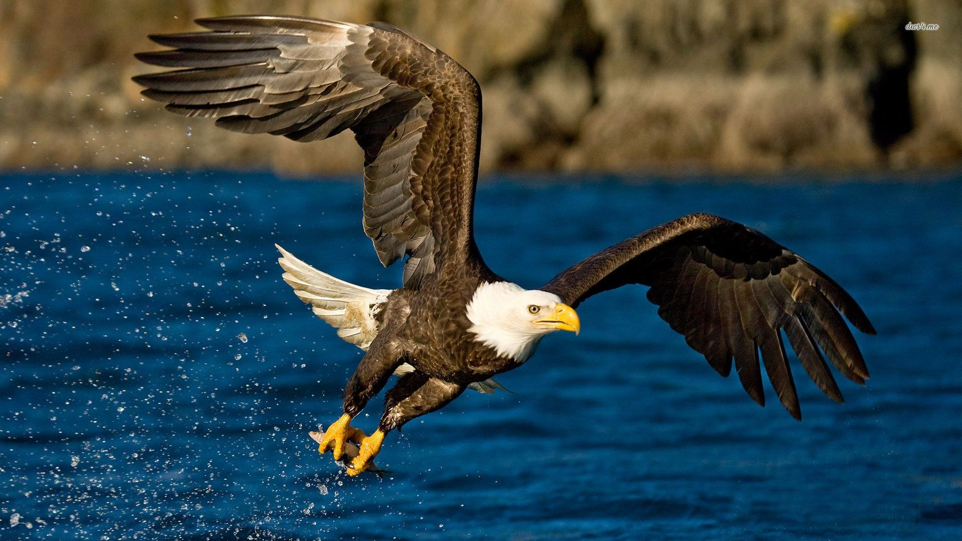 Eagle Wallpapers Free Download Group  1920x1080