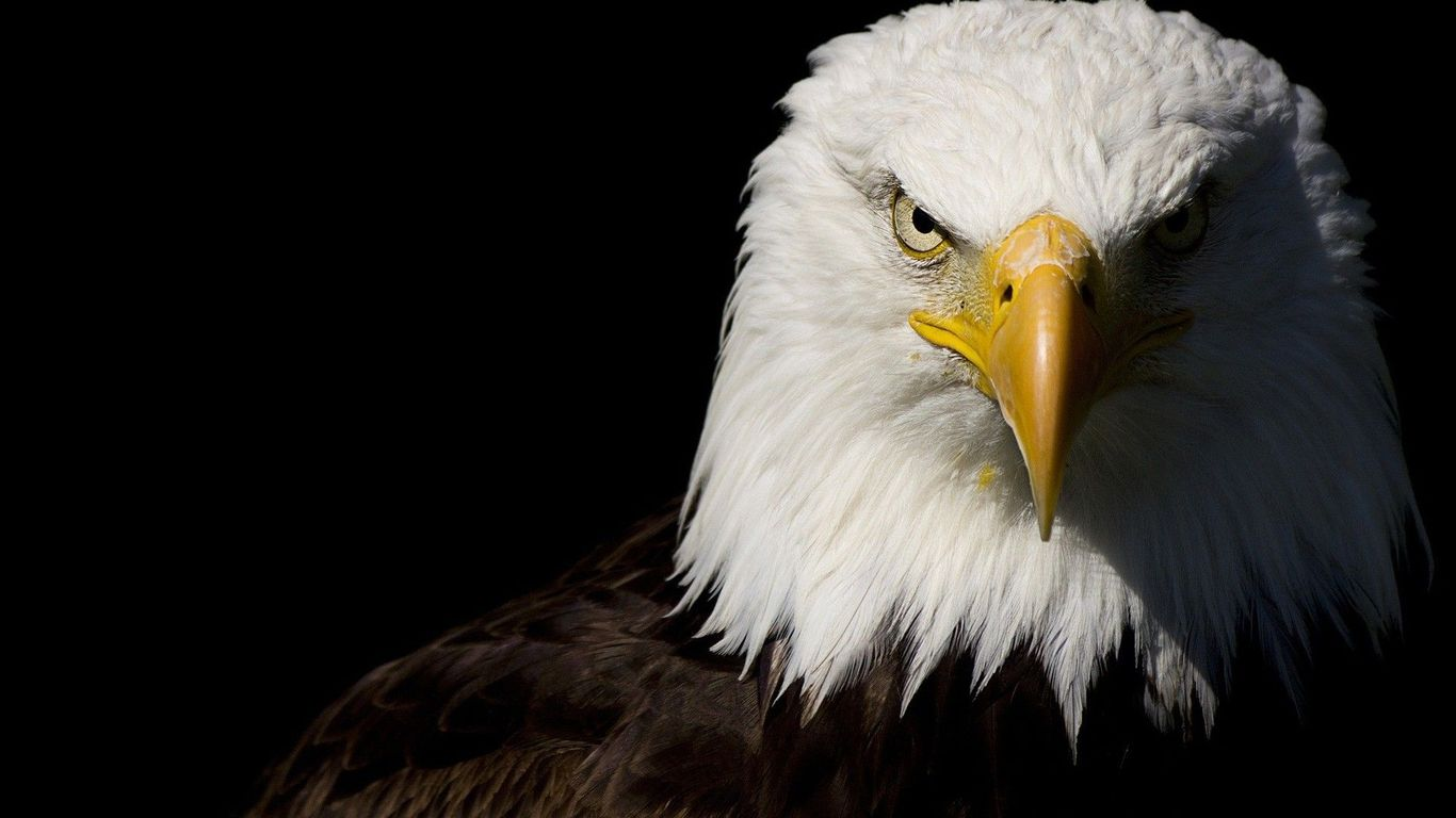 Eagle Wallpapers  Free Download Beautiful Birds HD Desktop Images 1366x768