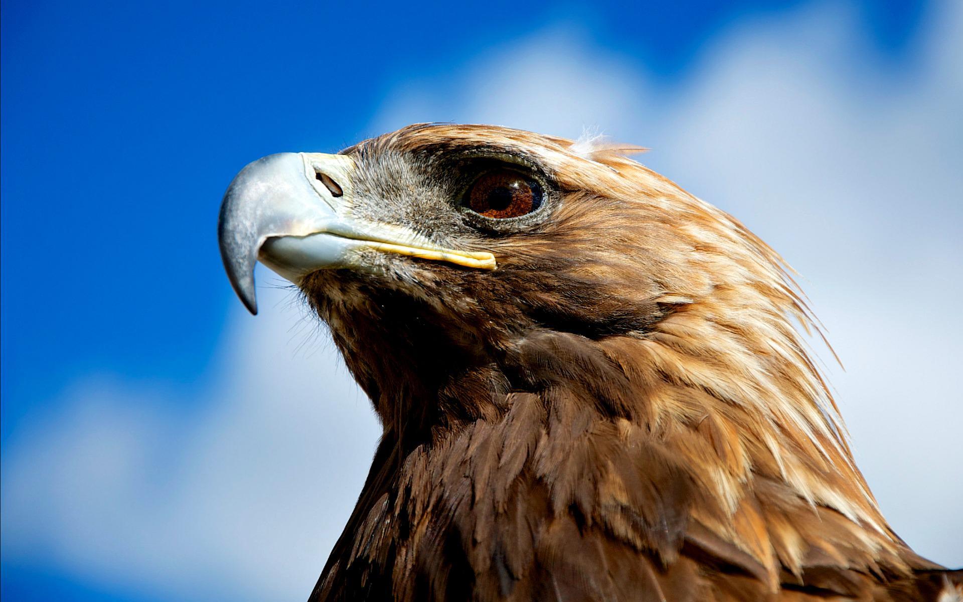 Czeshop Images Eagle Art Hd Wallpaper
