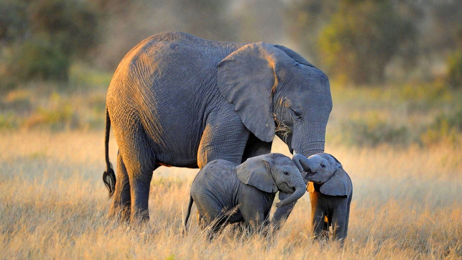 elephant pictures wallpapers 43 wallpapers