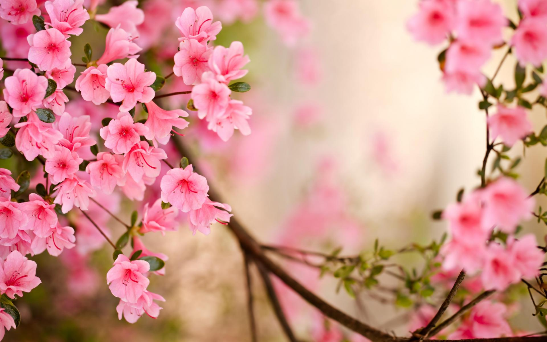 Pink Jasmine Flower Wallpaper Industrifo