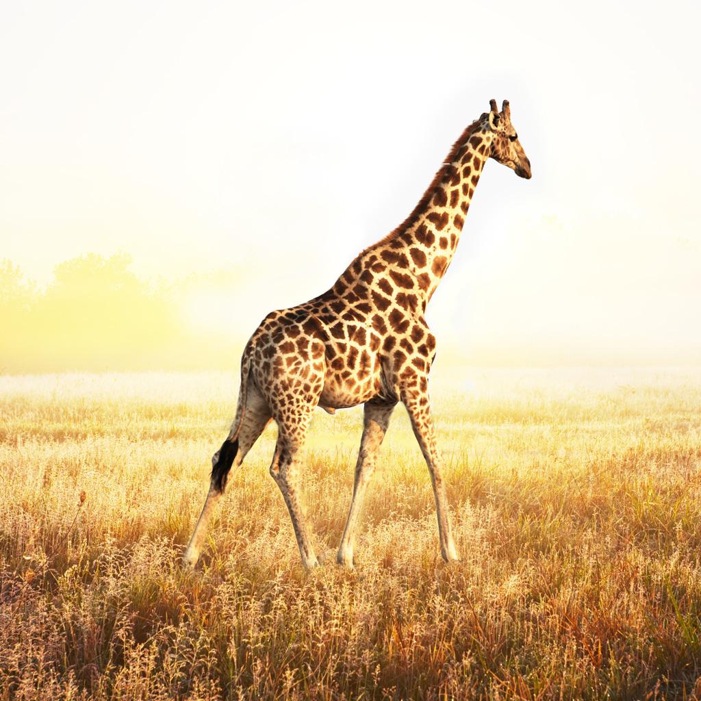 giraffe wallpaper hd  Animals Pinterest Giraffe Baby