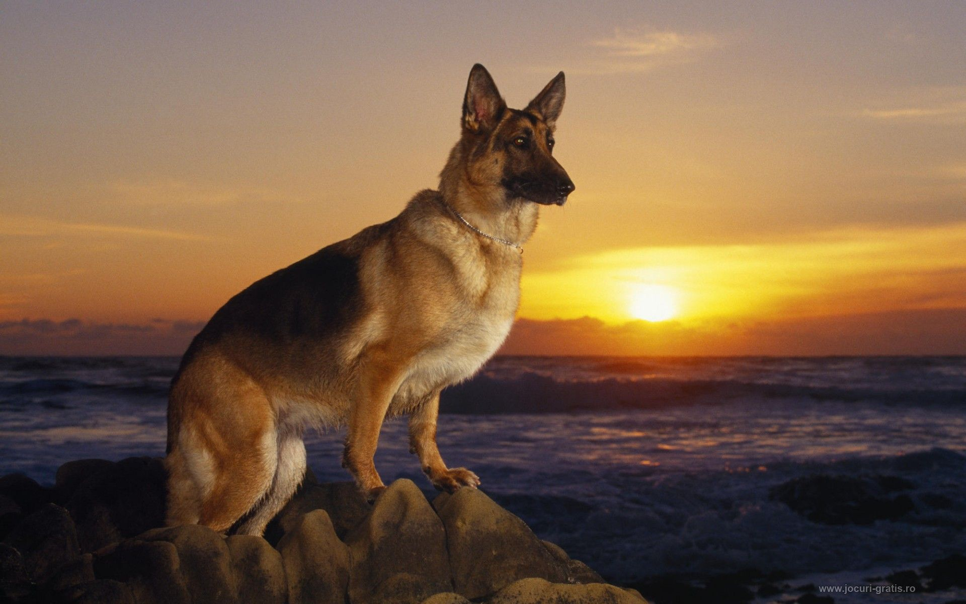 german shepherd wallpaper 38 wallpapers