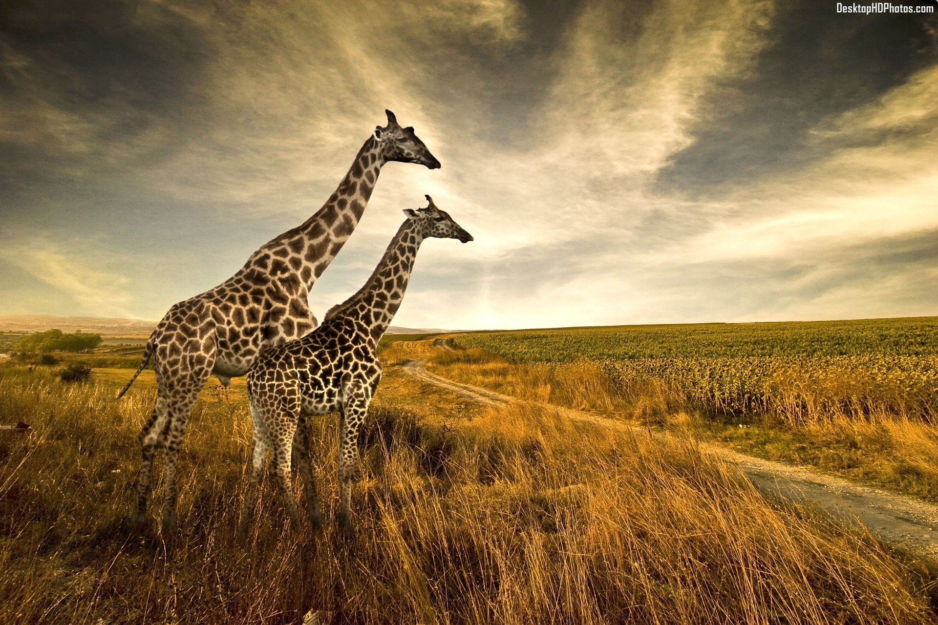 Giraffe Pair Wallpapers Archive 1920x1280