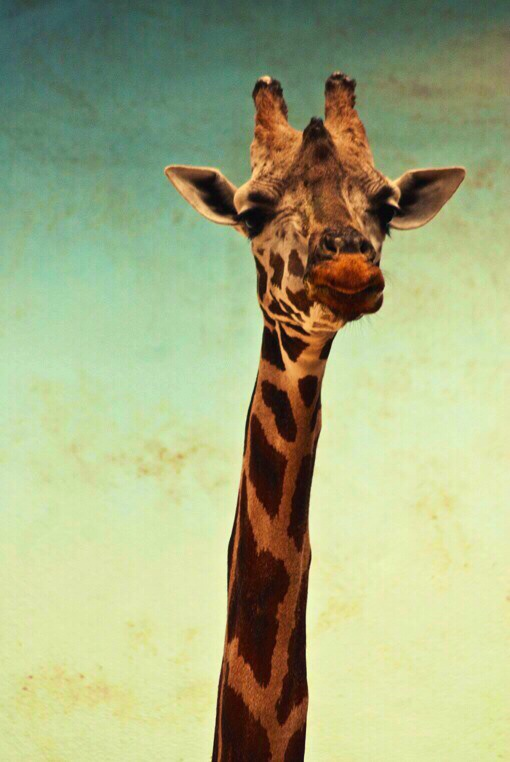 Giraffe Wallpapers Images Photos Pictures Backgrounds 510x762