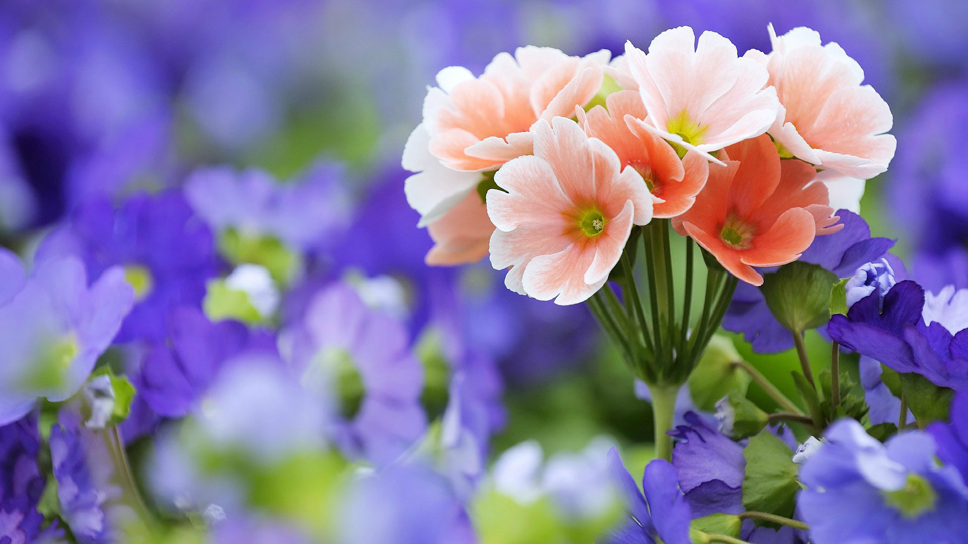 Flowers wallpapers high definition wallpapers high definition - Hd Flower Wallpapers 41 Wallpapers
