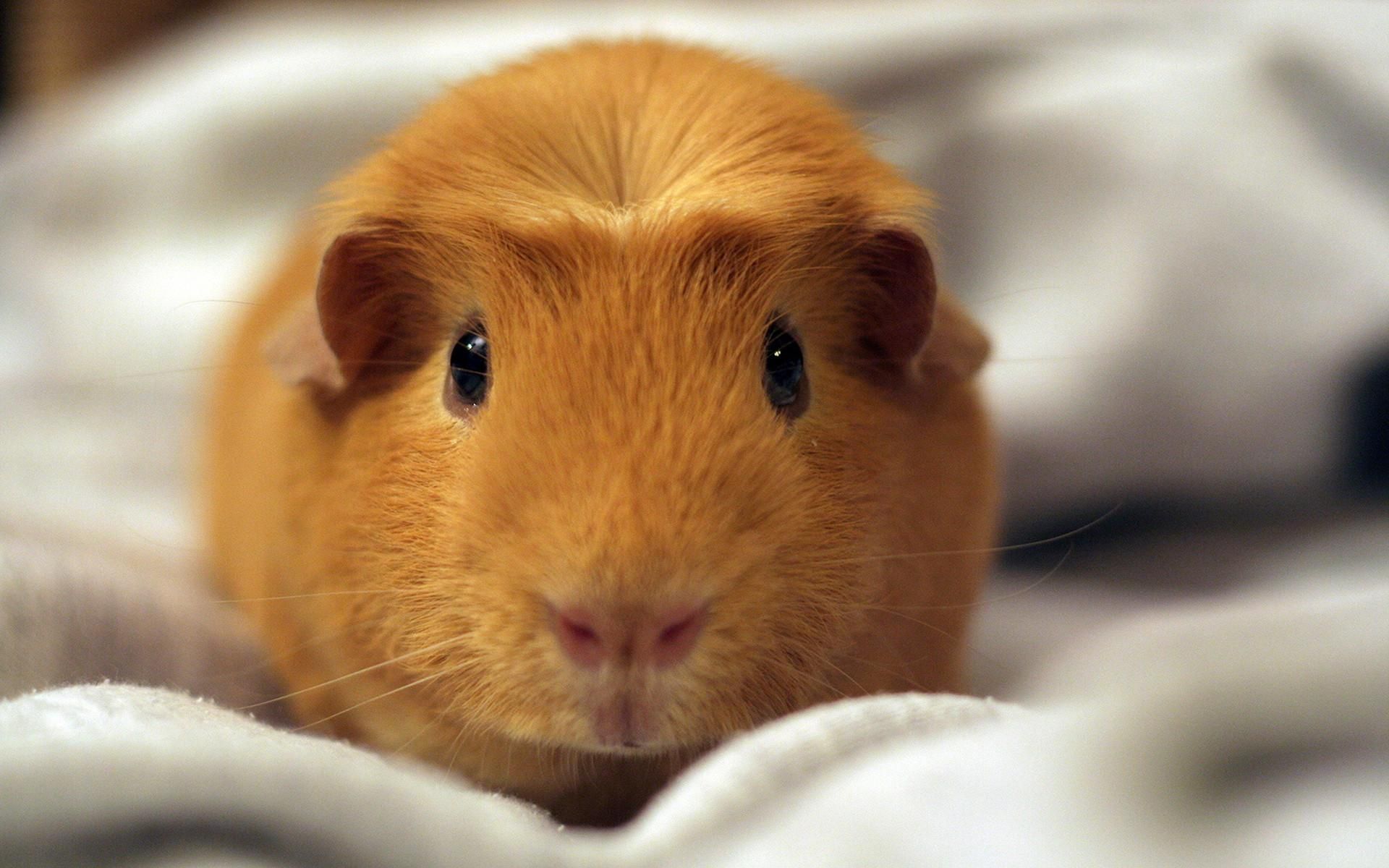hamster backgrounds (40 wallpapers) – adorable wallpapers