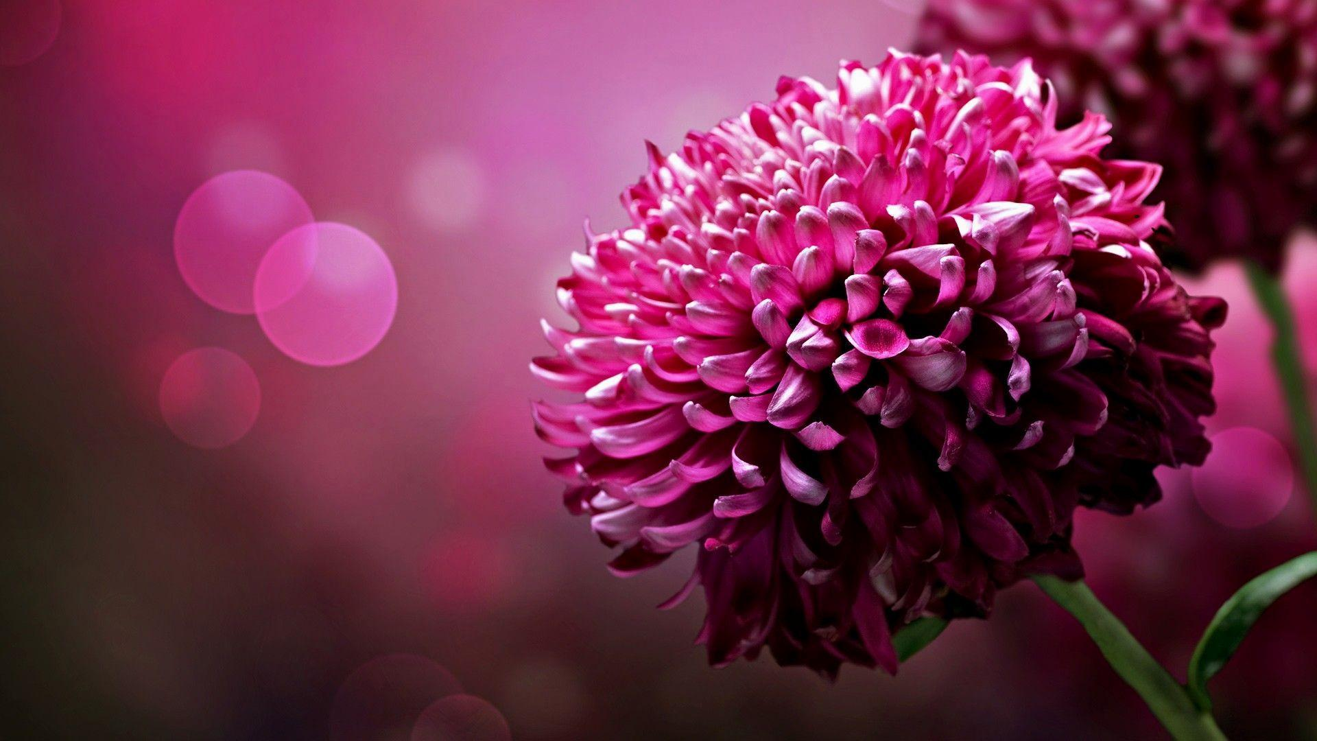 Keywords Black And Hot Pink Flower Wallpaper And Tags 1920x1080