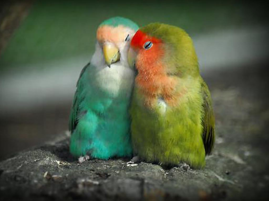 PicturesPool: Love Birds Wallpapers  Beautiful Birds Pictures 1024x768