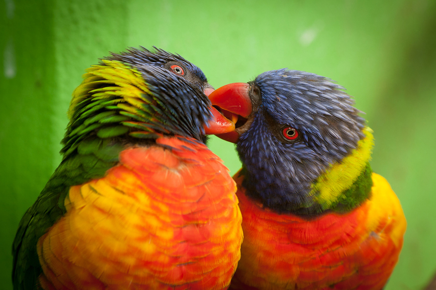 Love Birds Desktop Wallpaper Download Love Birds Wallpaper In Hd 900x598