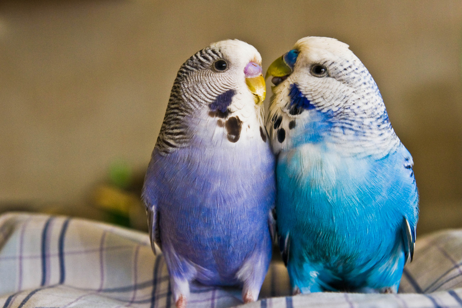 Love Birds Wallpapers HD Free Download for Desktop  Magazine Fuse 900x600