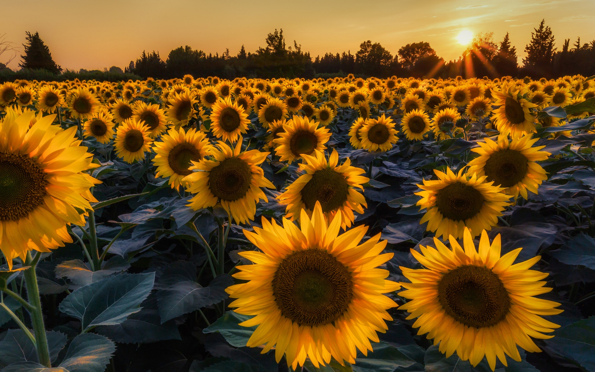 images of sunflowers wallpapers 52 wallpapers � adorable