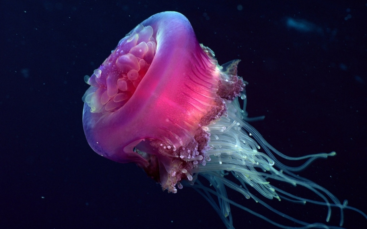 Jellyfish HD Wallpapers  Backgrounds  Wallpaper  1280x800