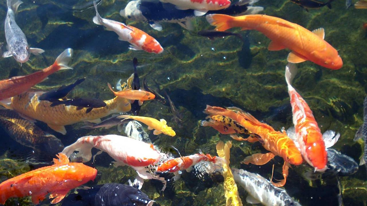 Koi wallpaper 38 wallpapers adorable wallpapers for Koi fish size