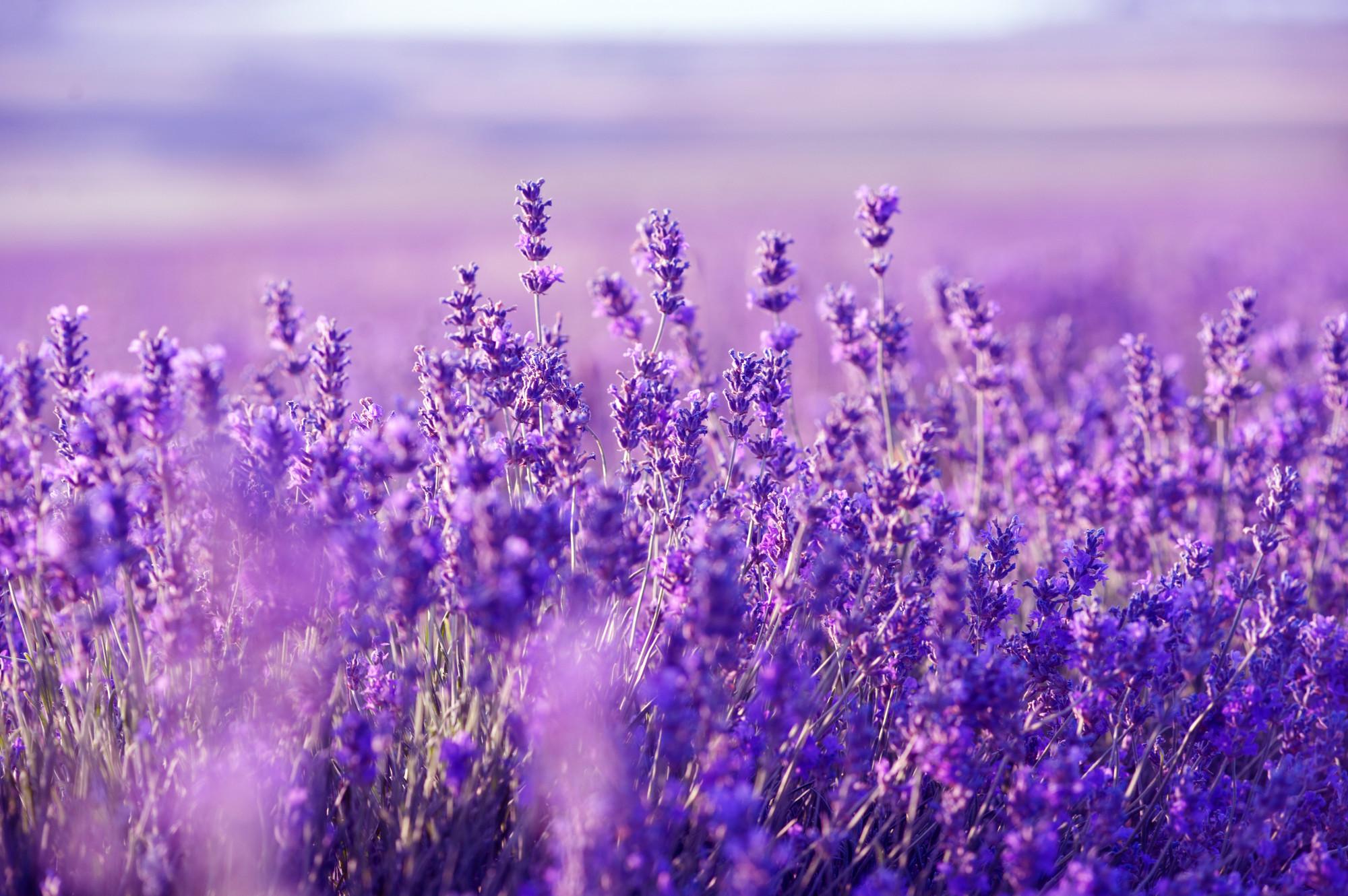 Lavender Flower Wallpapers Hd Pixelstalk Lavender Flower Wallpaper 2000x1330