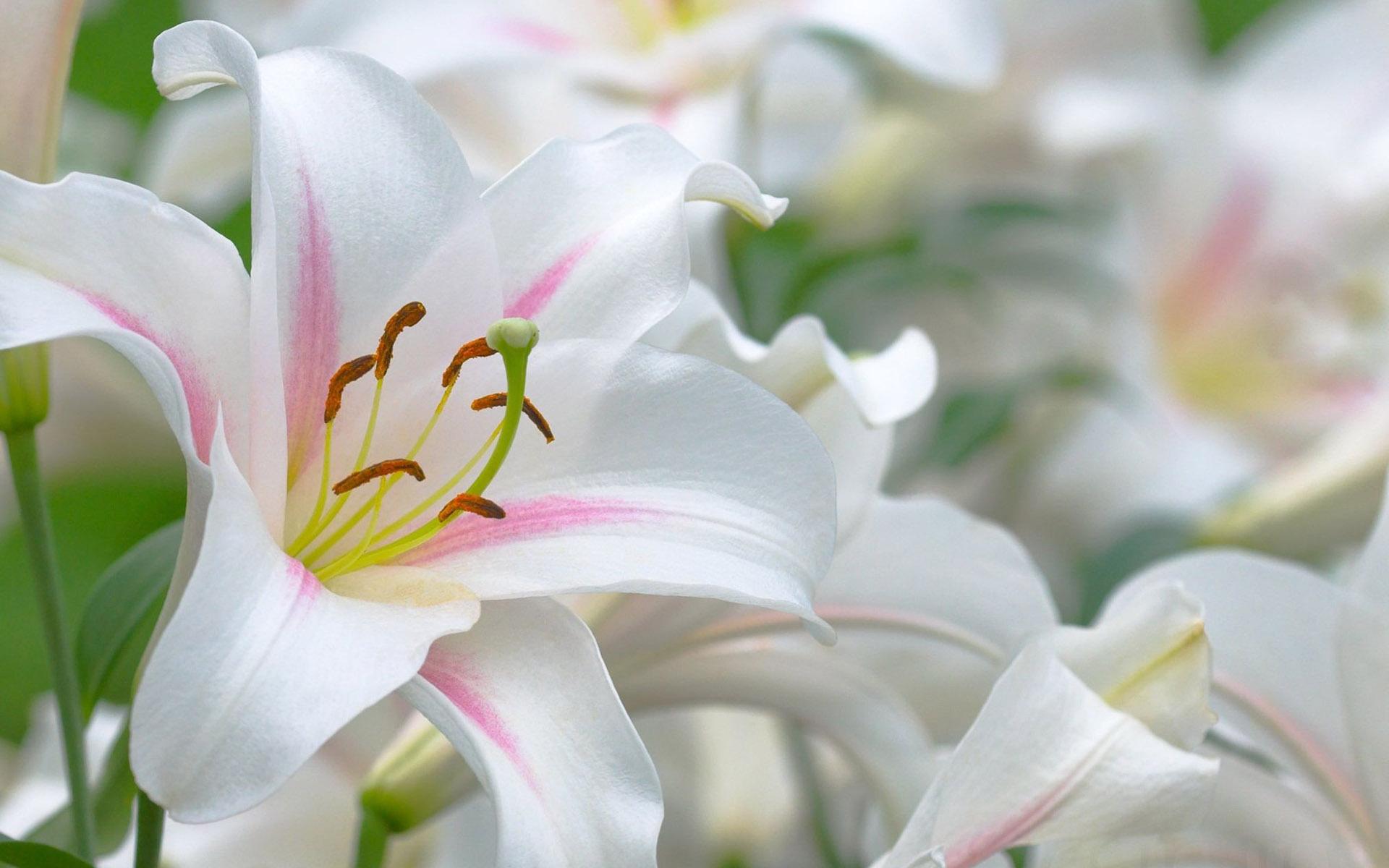 https://avante.biz/wp-content/uploads/Lily-Flower-Images-Wallpapers/Lily-Flower-Images-Wallpapers-046.jpg