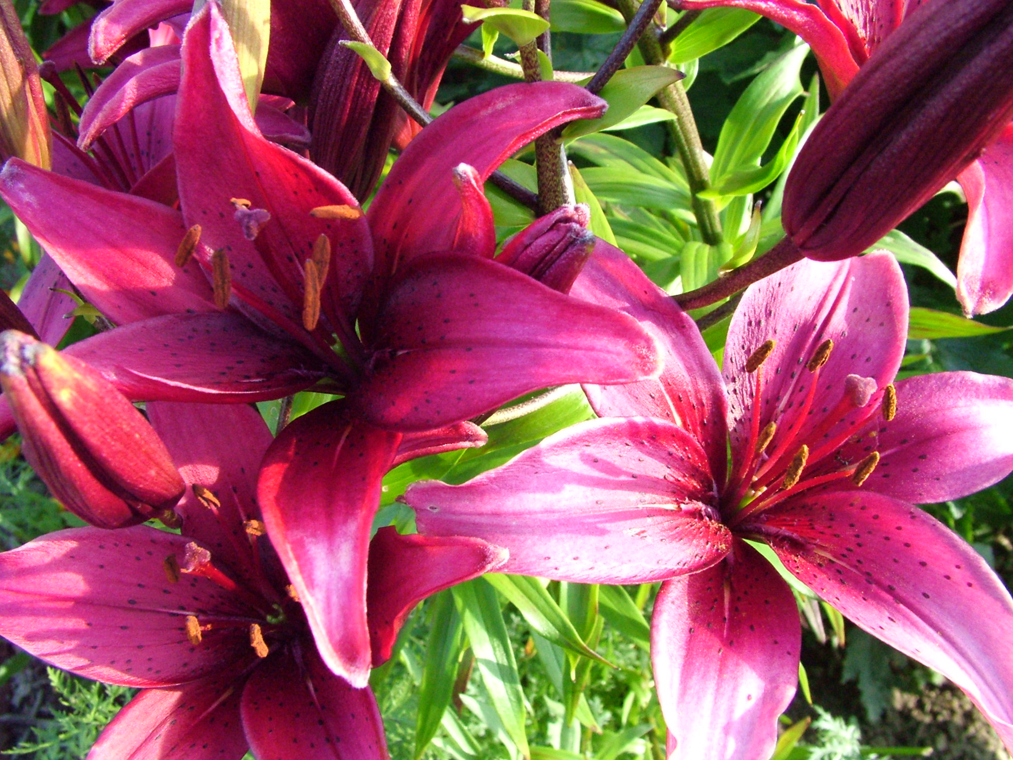 Best images about lily flower on pinterest flower wallpaper 2016x1512 izmirmasajfo