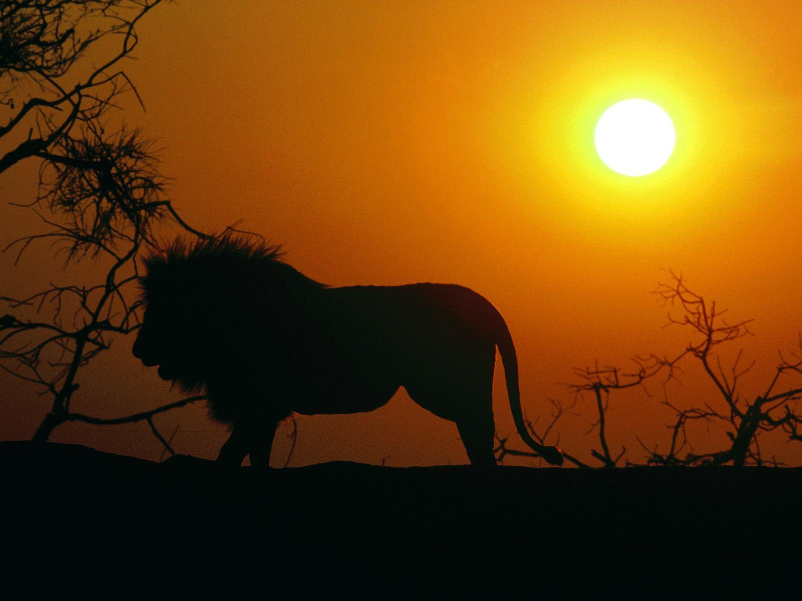 Lion Pic Wallpapers 039