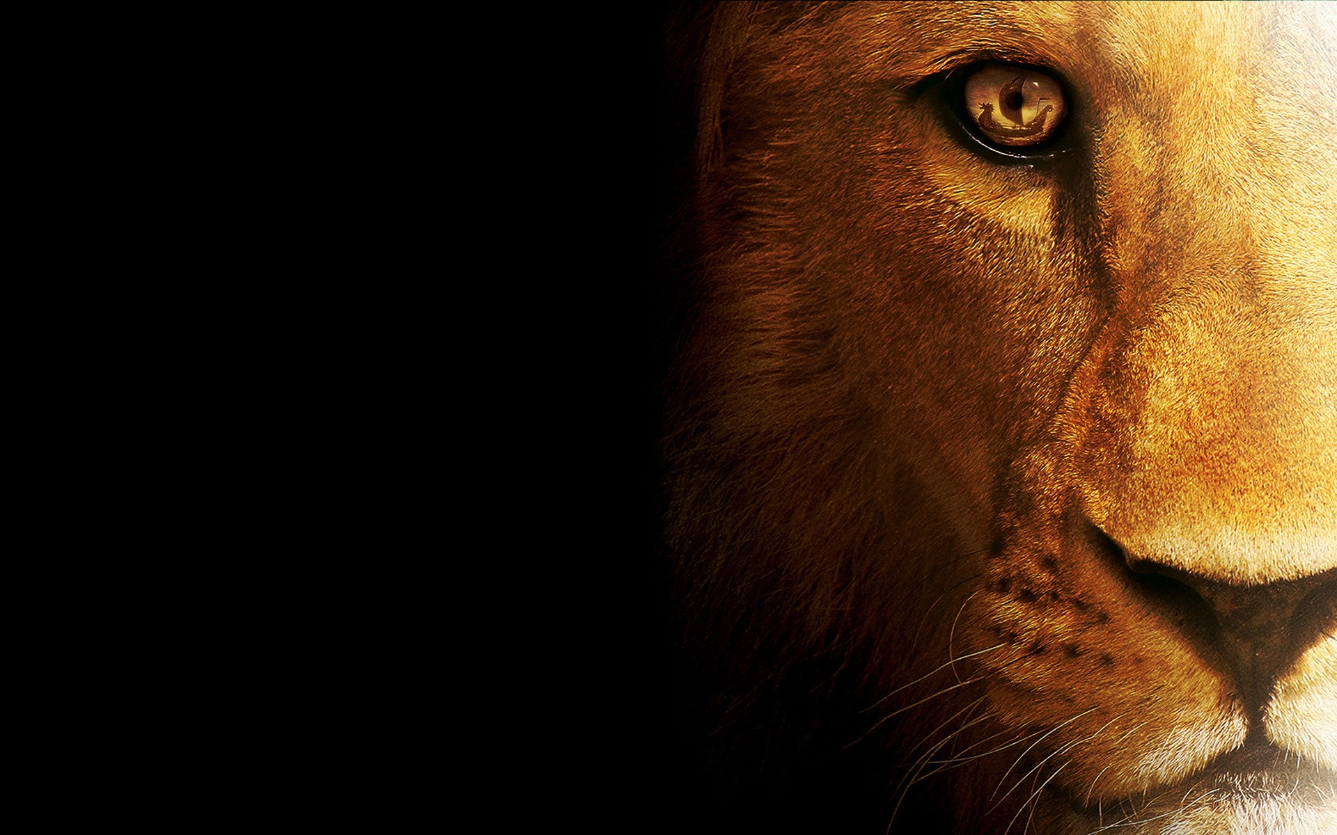 Lion HD Wallpapers  Backgrounds  Wallpaper  1920x1200