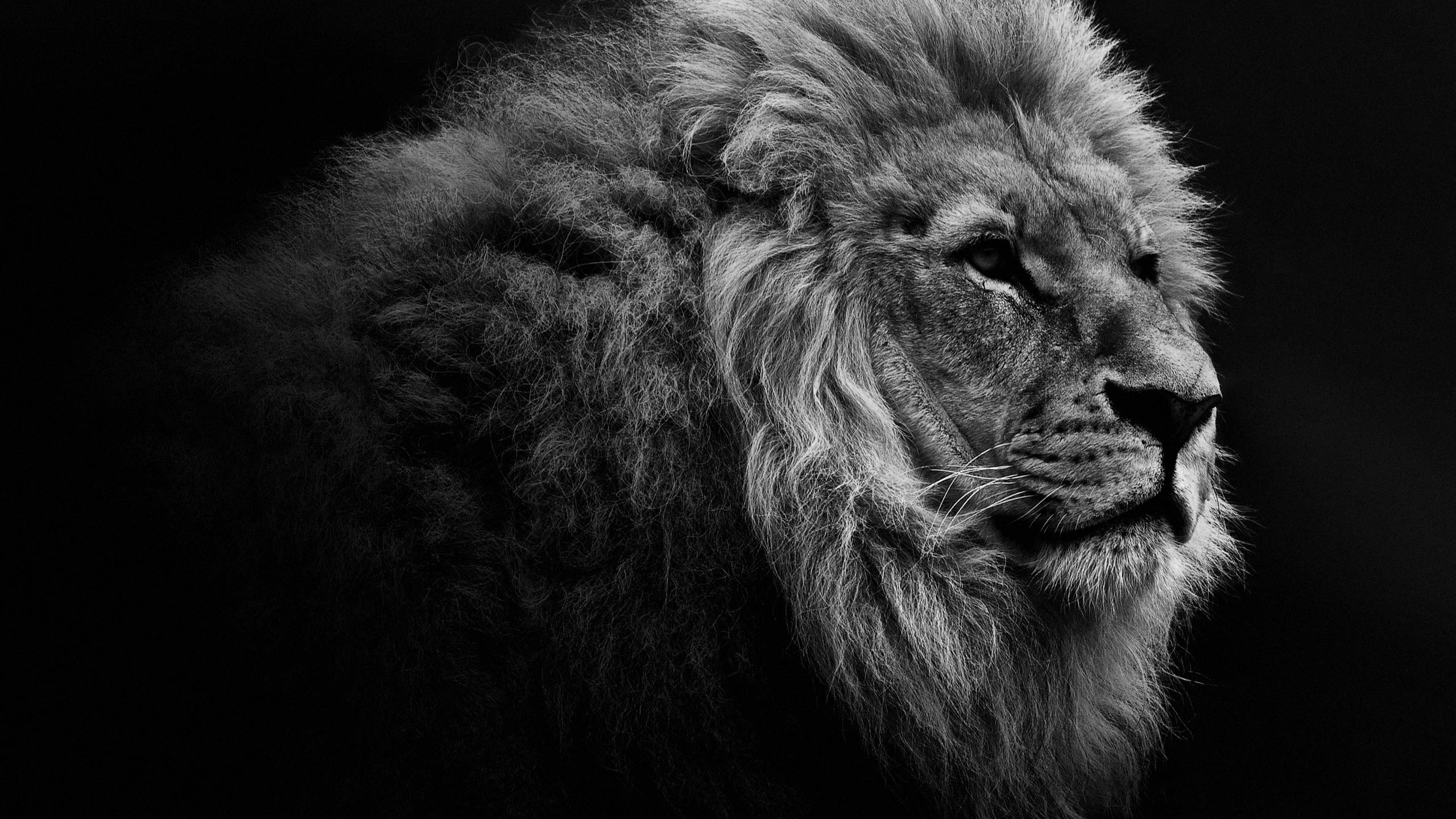 Lion HD Wallpapers  Lion HD Pictures  Free Download  HD 2560x1440