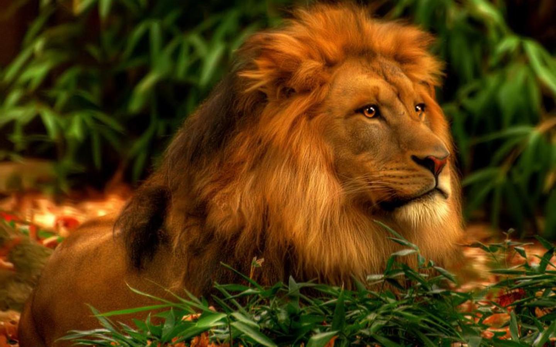 Lion Wallpaper Hd 048